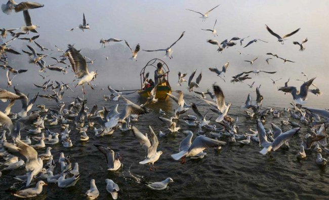 Devotees feed migratory gulls, as they fly over Narmada river, in Jabalpur, Tuesday, Jan 29, 2019. (PTI Photo)