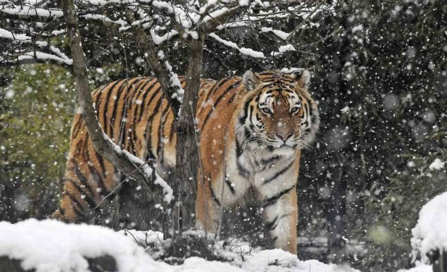 A tiger walks in the snowfall at the zoo in Gelsenkirchen, Germany, Thursday, Jan. 31, 2019. Cold winter weather has captured ever lower regions in Germany. AP/PTI