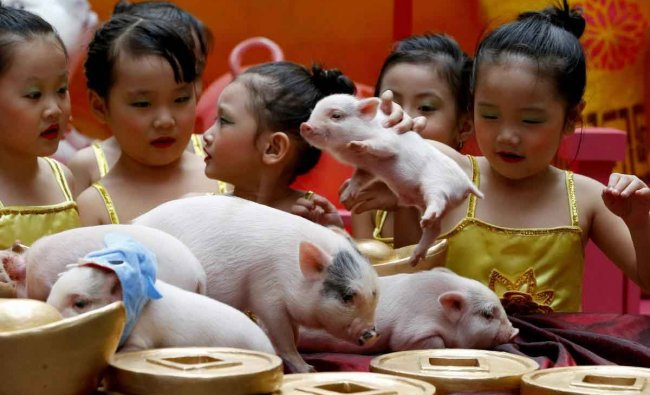 Children play with live Teacup pigs, a rare pet in the country, ahead of the Lunar New Year celebrations Friday, Feb. 1, 2019, at Manila\'s Lucky Chinatown Plaza, Friday, Feb. 2019, in Manila, Philippines. This year is the Year of the Earth Pig in the Chinese Lunar calendar and is supposed to represent abundance, diligence and generosity.AP/PTI