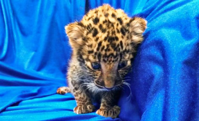 This handout picture released by Customs Chennai International Airport- A leopard cub after it was seized from checked baggage of a passenger travelling from Bangkok, at Chennai International airport on Saturday, Feb 2, 2019. A month-old leopard cub, weighing just over one kilogram (2.4 pounds), was found in a plastic basket hidden inside a bag after the passenger arrived on a Thai Airlines flight to Chennai airport. (PTI Photo)