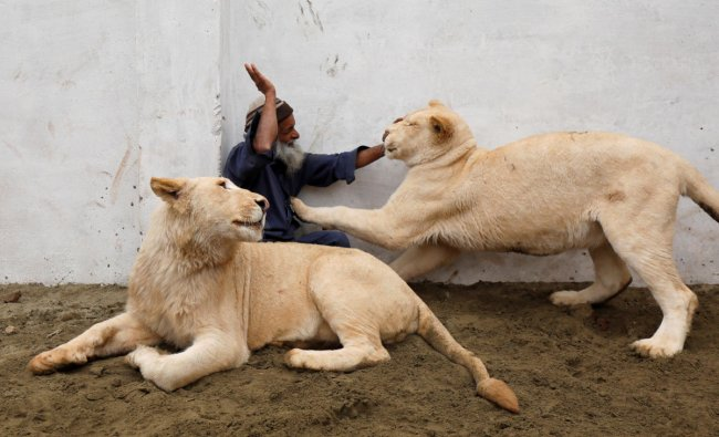 Mamy, a caretaker plays with a pair of pet lions in an enclosure built in a house on the outskirts of Peshawar, Pakistan February 4, 2019. REUTERS/Fayaz Aziz