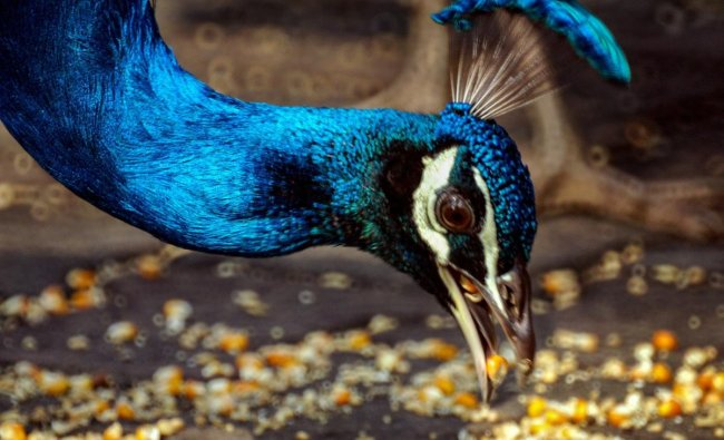 A peacock eats dry corn in a park in New Delhi. PTI