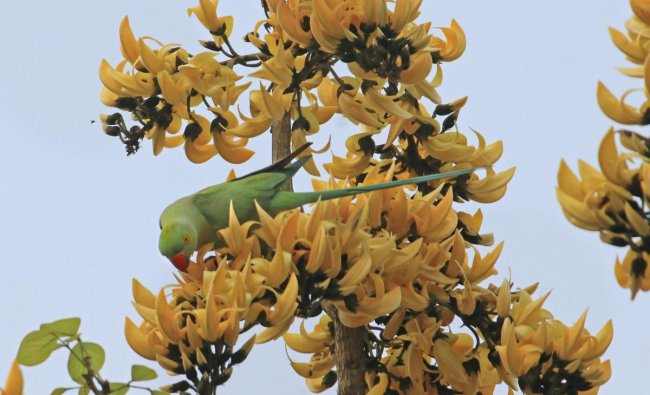 A Parakeet feeds on a Sacred Tree flower at Illambazar in Birbhum district, Wednesday, March 13, 2019. (PTI Photo)