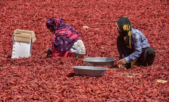 Workers remove stalks from chilli peppers at a farm on the outskirts of Ahmedabad, Saturday, March 23, 2019. (PTI Photo)