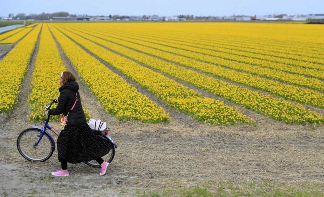 A tourist pushes her bicycle after taking pictures in a flower bulb field in Lisse, Netherlands, Wednesday, March 27, 2019. Dutch farmers have a message for tourists: Please don\'t tiptoe through out tulips, saying the visitors are welcome but increasingly are walking into fields, damaging flowers and the bulbs. AP/PTI
