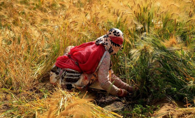 A farmer harvests wheat crop at a field, in Ajmer, Thursday, March 28, 2019. (PTI Photo)