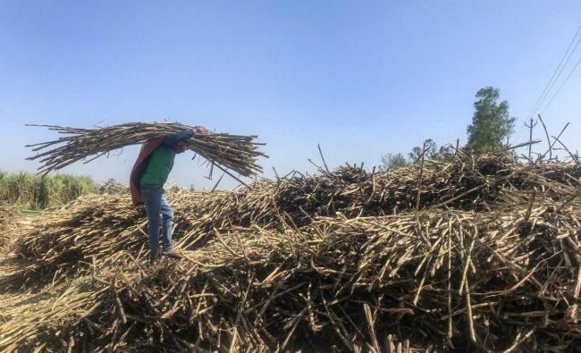 Bijnor: A farmer carries sugarcane at Gopalpur village, in Bijnore, Tuesday, April 02, 2019. PTI
