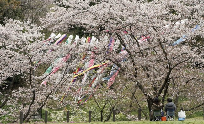 Yokohama: Visitors view the blooming cherry blossoms and colorful carp streamers fluttering in the air at Kodomonokuni, or Children\'s Land, in Yokohama near Tokyo Friday, April 12, 2019. AP/PTI