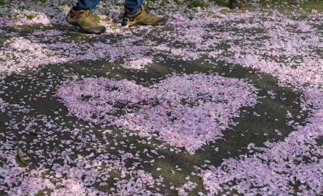 A man walks past cherry blossom formed into a heart shape in Greenwich in London, Britain, April 22, 2019. REUTERS/Toby Melville