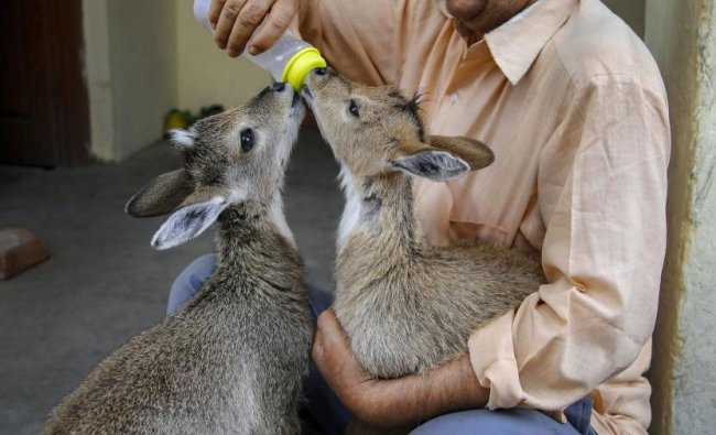A wildlife employee feeds two female goral after they were recovered from Trikuta mountains, in Katra, Thursday, May 16, 2019. (PTI Photo)
