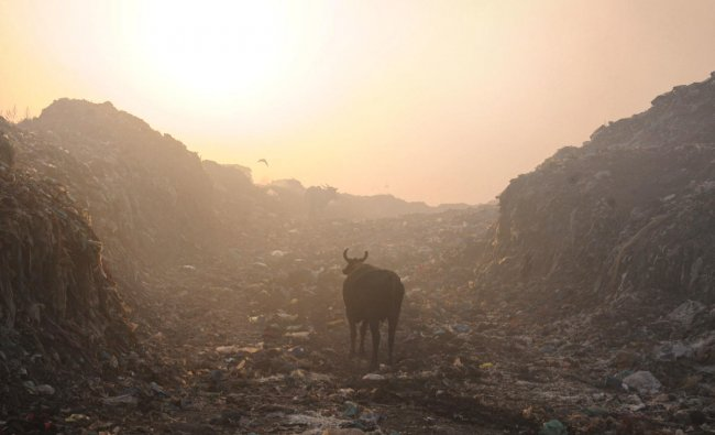 A cow is seen near a garbage-dumping site on the outskirts of Amritsar. World Environment Day is observed every year on June 5, and the theme of this year is \'Air pollution\'. (PTI Photo)