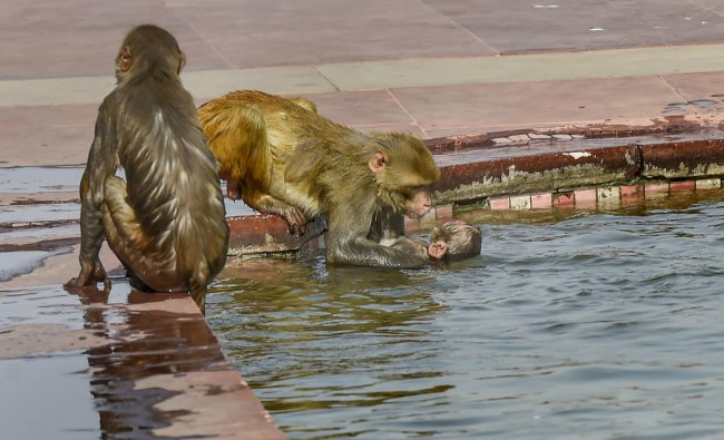 Monkeys cool-off at a pond at the South Block on a hot summer day in New Delhi. (PTI Photo)