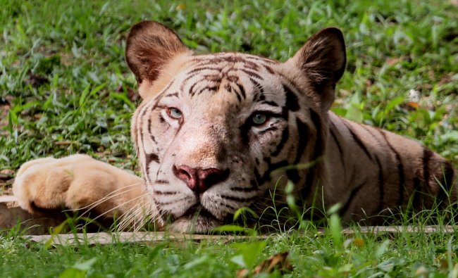 A white Royal Bengal Tiger rests in a small pond inside its enclosure on a hot summer day at Tata Steel Zoological Park (TSZP), in Jamshedpur, Friday, June 7, 2019. (PTI Photo)