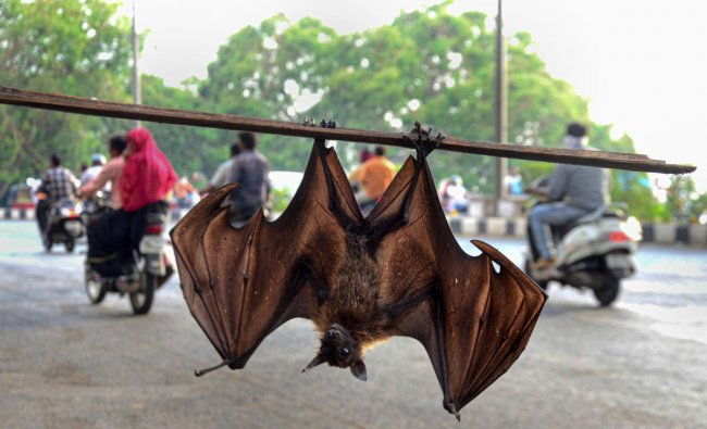 Bhopal: A bat hangs upside down from a branch, in Bhopal, Saturday, June 08, 2019. According to the WHO, Nipah virus is a newly emerging disease that can be transmitted from its reservoir (natural wildlife host), the flying foxes (fruit bats), to both animals and humans. (PTI Photo)