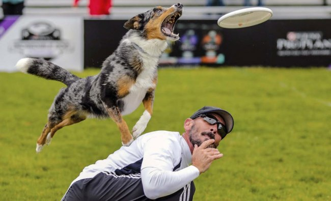 The Captain goes for a frisbee over Chuck Middleton of Dallas during the Incredible Freestyle Flying Disc Qualifying for the Purina ProPlan Incredible Dog Challenge Friday, June 21, 2019 in Avon, Colo. AP/PTI Photo