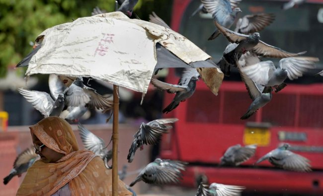 A woman vendor waits for customers to sell bird feeds (grains) in the backdrop of a flock of pigeons, in New Delhi, Sunday, June 23, 2019. (PTI Photo)