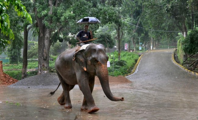 An elephant mahout holds an umbrella as he crosses a road during heavy rain, in Guwahati, Wednesday, June 26, 2019. (PTI Photo)