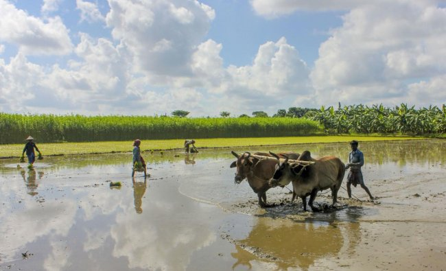 A farmer prepares his agricultural field for paddy cultivation in Nadia district. (PTI Photo)