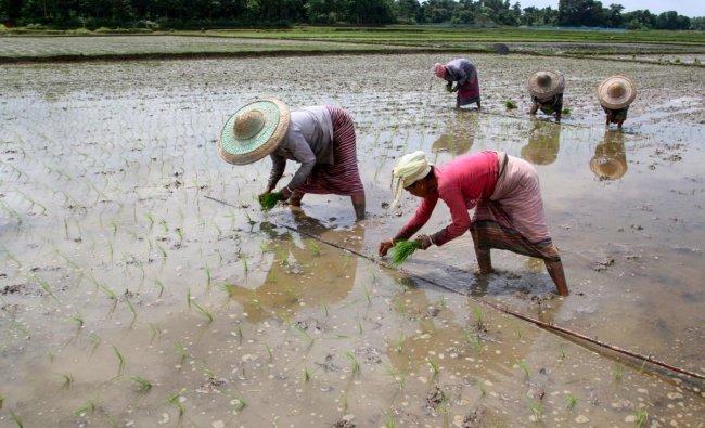 Farmers plant paddy saplings in a field, in West Tripura district. (PTI Photo)