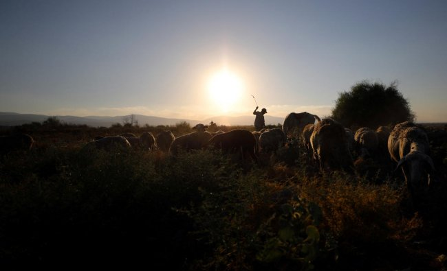 A Palestinian man herds cattle in Jordan Valley, the eastern-most part of the Israeli-occupied West Bank that borders Jordan. Reuters Photo