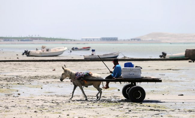 A fisherman uses his donkey to go to sea to catch fish after sea dried off due to land reclamation in Budaiya west of Manama, Bahrain. Reuters Photo