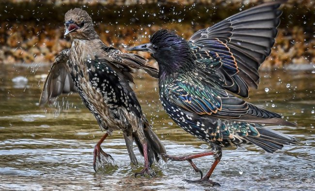 Two starlings play in a fountain at Moscow\'s Manezhnaya Square. Photo AFP
