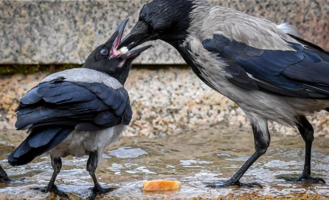 A crow feeds its chick by a fountain at Moscow\'s Manezhnaya Square. Photo AFP