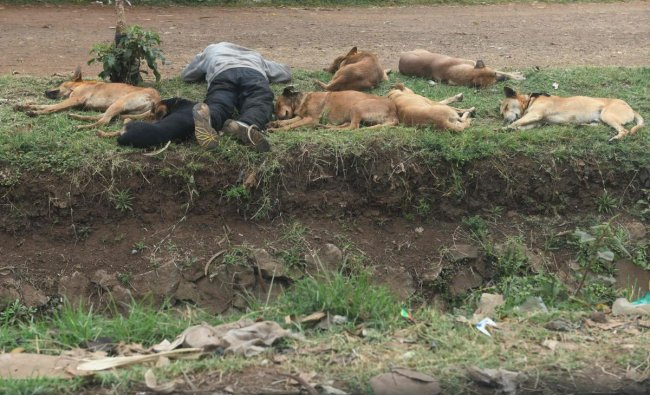 A pack of dogs rest next to their owner as he sleeps on a grass verge on the side of a dirt track on August 30, 2019, Dagoretti district, the in capital Nairobi (AFP Photo)