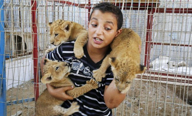Palestinian child play with three lion cubs that were born few weeks ago in a zoo at southern Gaza Strip town of Rafah. International animal welfare groups have carried out several missions to evacuate animals and birds from dilapidated makeshift zoos after cold, neglect and conflicts led to the demise of some animals. AP/PTI