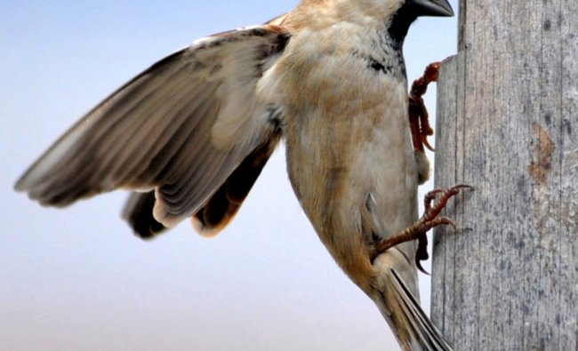 A sparrow searching for new place to build a nest
