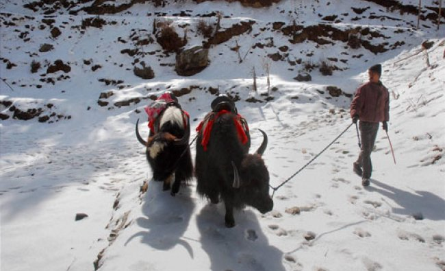 A man walks with his yaks on a snow-covered road after snowfall at Kufri near Shimla on Saturday....