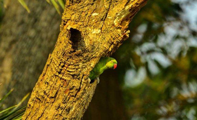 Green Parakeet. Photo by Debashish Das