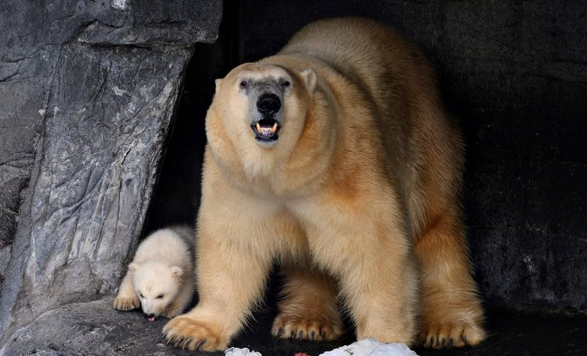 A polar bear cub and its mother are seen in their enclosure at the zoo in Copenhagen. (AFP Photo)