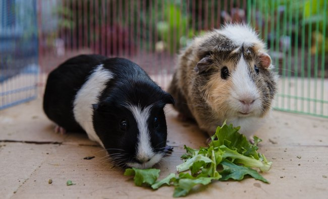 Emi (L) and Ally (R) eat lettuce while they are having floor time in San Diego, California. (AFP Photo)