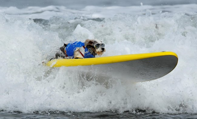 A small dog competes in the 14th annual Helen Woodward Animal Center \'Surf A Thon\' where more than 70 dogs competed in five different weight classes for \'Top Surf Dog 2019\' in Del Mar, California. (Photo by Reuters)