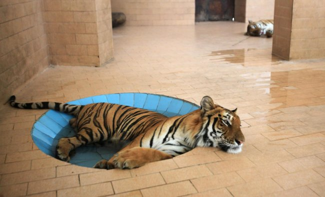 A tiger lays in a pool of water inside a cage at a zoo, during hot and humid weather in Lahore, Pakistan June 10, 2019. REUTERS/Mohsin Raza