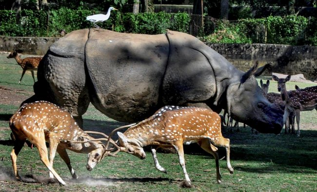 Two spotted deer lock horns inside an enclosure at Assam State Zoo cum Botanical Garden, in Guwahati on Sunday.PTI Photo