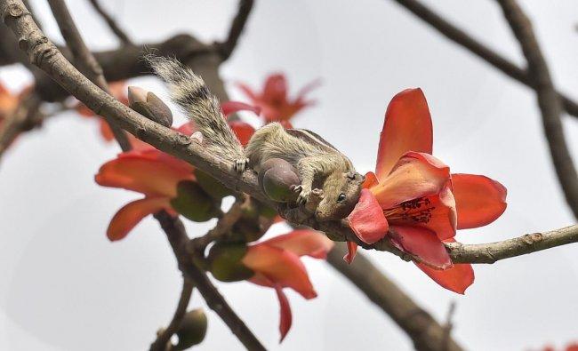 A squirrel perches on a cotton-tree (Bombax ceiba) in Kolkata Maidan. PTI