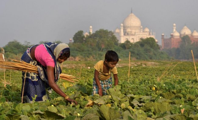 A farmer works on her field against the backdrop of Taj Mahal, in Agra, on Friday. PTI Photo