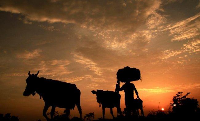 A farmer with cattle during sunset, at Joypur village near Agartala, on Friday. PTI Photo