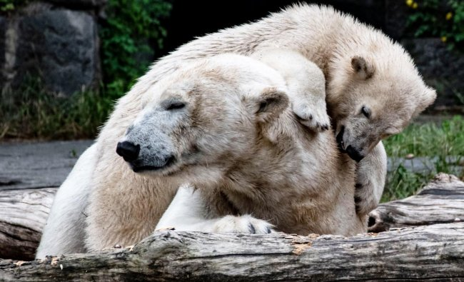 A picture taken on June 10, 2019 shows polar bear cub Hertha and her mother Tonja at their enclosure at the Tierpark zoo in Berlin. - The female cub was born at the zoo on December 1, 2018, and is sponsored by Berlin\'s football team Hertha BSC. (Photo by Paul Zinken / dpa / AFP) / Germany OUT