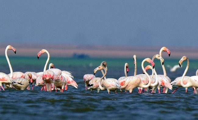 Greater Flamingos. Clicked by Hariharan Subramanian