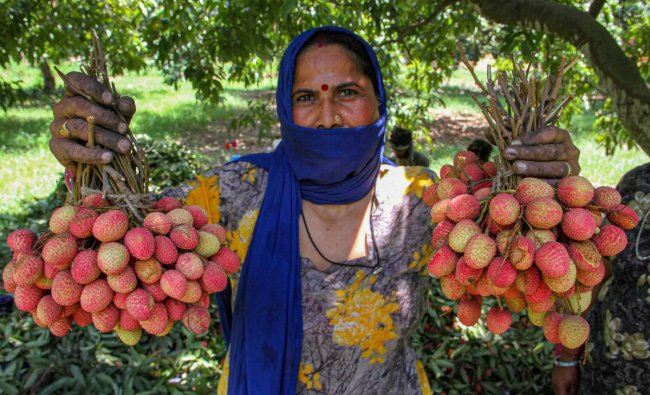 A woman shows litchies plucked from an orchard on the outskirts of Jammu, Monday, June 17, 2019. PTI