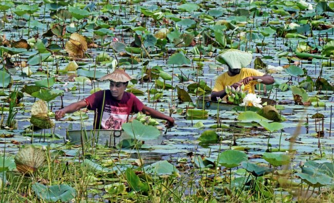 Farmers pluck \'lotus\' flowers at a pond for Durga Puja celebrations in Kolkata on Sunday. (PTI Photo)