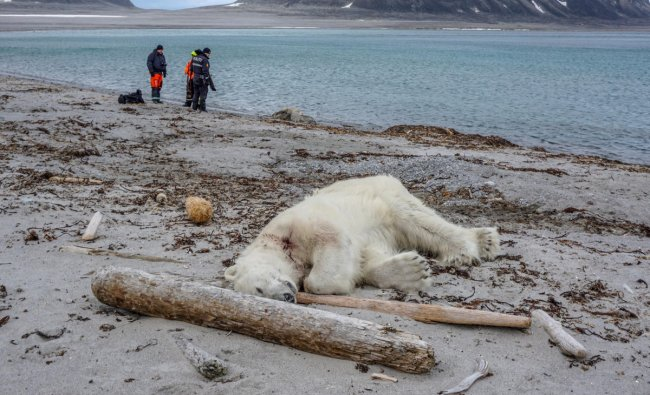 A polar bear is seen after being shot dead by another employee according to the cruise company, in Svalbard A polar bear, which Norwegian authorities said attacked and injured a cruise ship employee who was leading tourists off a cruise ship on an Arctic archipelago between mainland Norway and the North Pole, is seen after being shot dead by another employee according to the cruise company, in Svalbard, July 28, 2018. Gustav Busch Arntsen/Governor of Svalbard/NTB Scanpix/via REUTERS