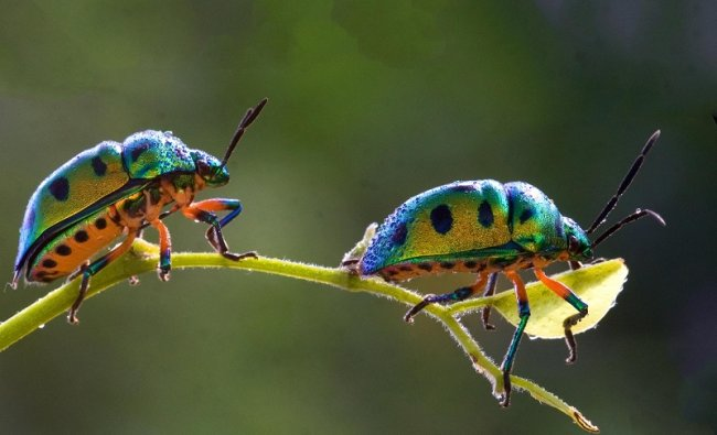 The black spotted green beetles found in an enclosure in the Shidlaghata were passing one by one. In vivo, their front wings become armor. There are wings beneath this cover. (DH Photo)