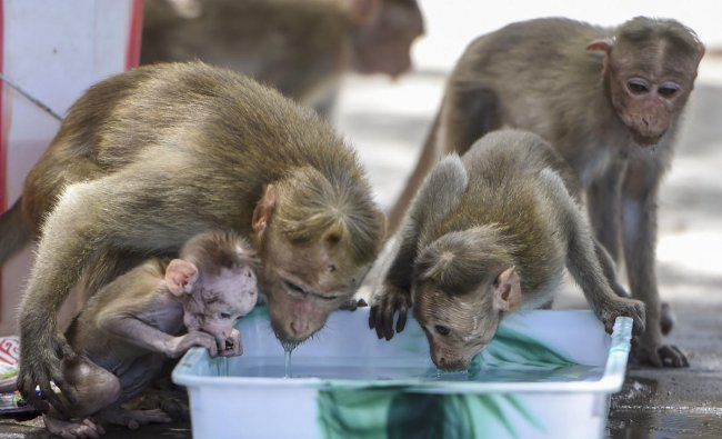 Monkeys quench their thirst from water stored in a tray during a hot day in Chennai, Monday, June 10, 2019. (PTI Photo)