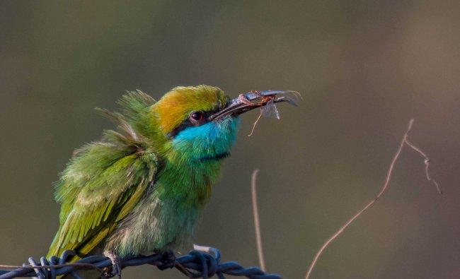 Green Bee Eater. Photo by Debashish Das