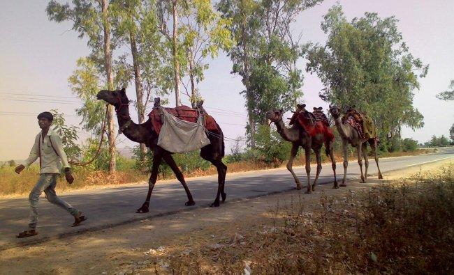 Camels at Yadgir. Photo by John Wesley
