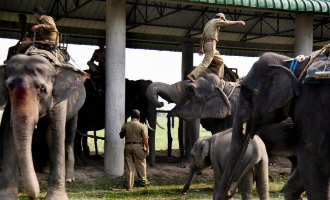 Mahouts prepare their elephants before the start of an elephant safari for tourists at the Pobitora National Park, in Morigaon district of Assam. (PTI Photo)